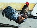 Siamo polli